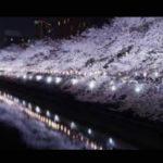 東京の花見おすすめスポットは?家族や会社での宴会が楽しめる