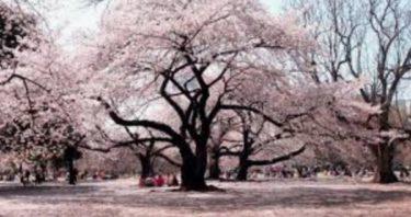 お花見の名所 新宿御苑の桜の見頃!夜桜、ライトアップ、イベント情報