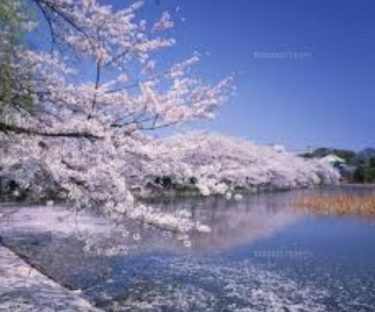 お花見の名所 上野恩賜公園の桜を楽しむ!ライトアップ・イベントなど