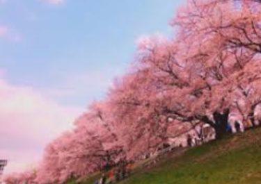 京都のお花見 名所、淀川河川公園背割堤地区の桜!見所や桜まつり情報