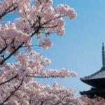 お花見の名所 仁和寺の御室桜を楽しむ!見どころや開花情報