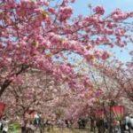 お花見の名所 大阪造幣局の桜の通り抜け!開花、見所、アクセス