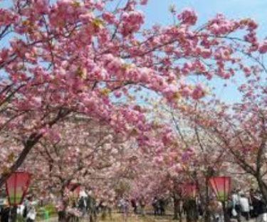 お花見の名所 大阪造幣局の桜の通り抜け!開花・見所・アクセス
