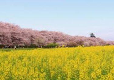 お花見の名所 幸手権現堂桜堤!桜まつり、開花、見どころ