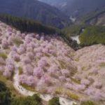 お花見の名所 天空の庭高見の郷のしだれ桜!開花情報、見どころ