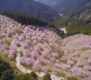 お花見の名所 天空の庭高見の郷のしだれ桜!開花情報・見どころ