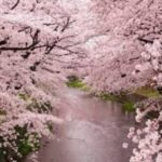 お花見の名所 大口町 五条川の桜並木!桜祭り、ライトアップ