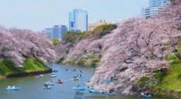 桜・お花見の名所 千鳥ヶ淵緑道の桜!夜桜、桜祭り、ボートを楽しむ