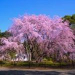 お花見の名所 六義園の桜!開花・ライトアップ・しだれ桜の見頃
