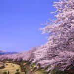 お花見の名所 桧木内川堤のソメイヨシノ!桜開花、桜祭り、ライトアップ