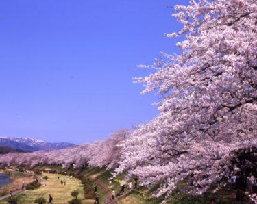 お花見の名所 桧木内川堤のソメイヨシノ!桜開花・桜祭り・ライトアップ